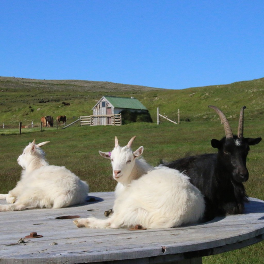Goats at Fell